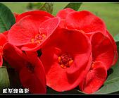 麒麟花:麒麟花