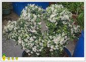 花草樹木- 小木本植物:刺葉黃褥花