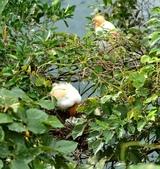 坪林拱橋牛背鷺,夜鷺觀賞區:DSC_5788.JPG