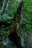 司馬庫斯巨木步道:DSC_6248.JPG
