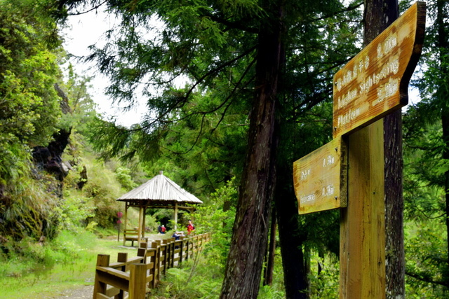 榛山森林浴步道 (10).JPG - 觀霧國家森林遊樂區-大鹿林道西線,榛山森林浴步道