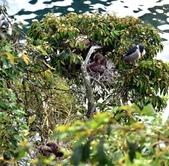 坪林拱橋牛背鷺,夜鷺觀賞區:DSC_5792.JPG