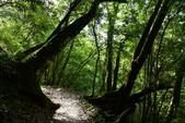 司馬庫斯巨木步道:DSC_6259.JPG