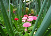 維多利亞布查花園:維多利亞布查花園_1000420_0510 859.jpg