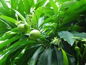 100年7月26日金山之旅:金山-獅頭山公園-有毒植物海檬果037.jpg