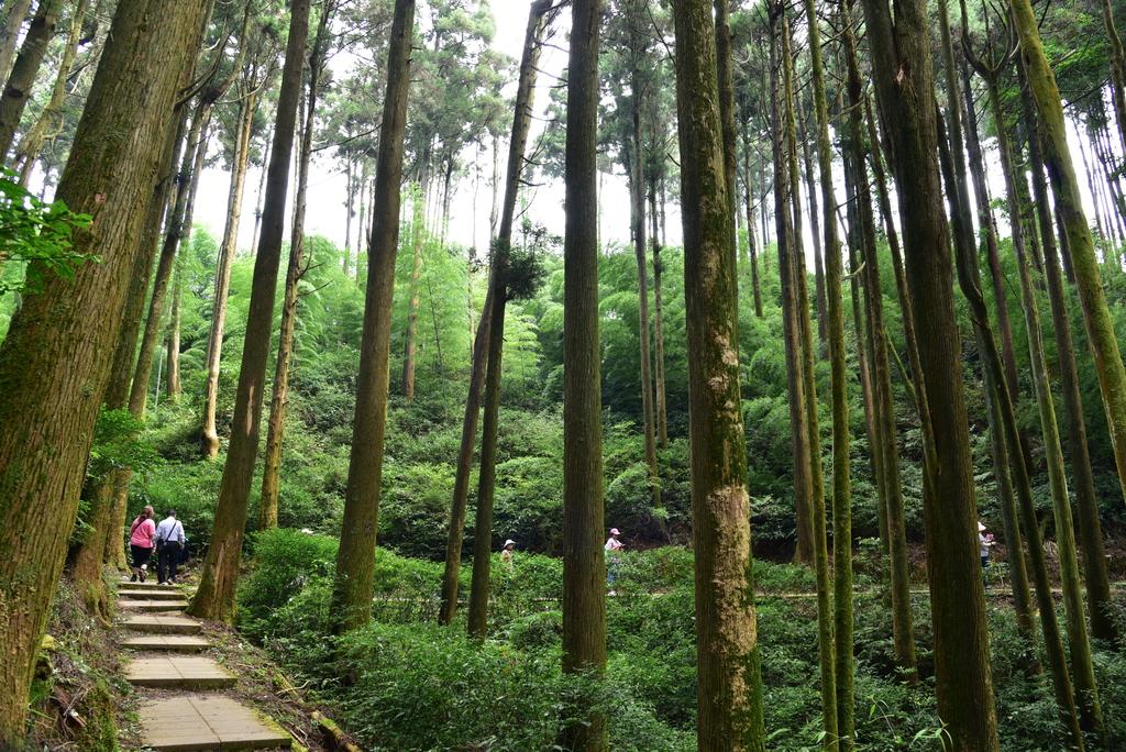 草嶺石壁風景區:杉林步道 (3).JPG