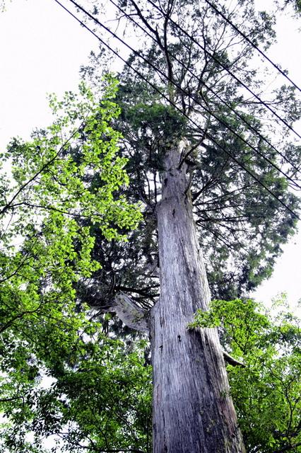 大鹿林道西線 (6).JPG - 觀霧國家森林遊樂區-大鹿林道西線,榛山森林浴步道