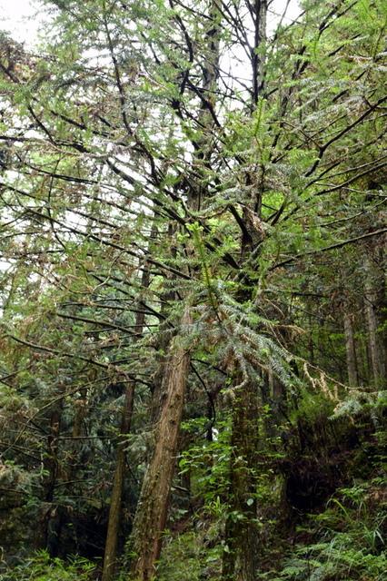 大鹿林道西線 (21).JPG - 觀霧國家森林遊樂區-大鹿林道西線,榛山森林浴步道