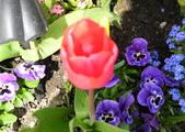 維多利亞布查花園:維多利亞布查花園_1000420_0510 895.jpg