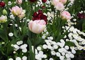 維多利亞布查花園:維多利亞布查花園_1000420_0510 903.jpg