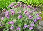 維多利亞布查花園:維多利亞布查花園_1000420_0510 907.jpg