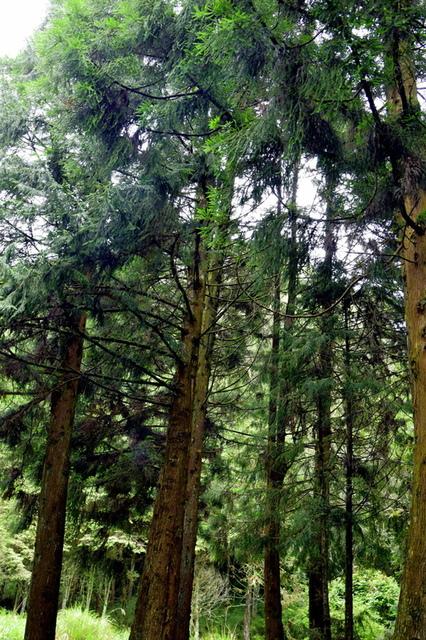 大鹿林道西線 (19).JPG - 觀霧國家森林遊樂區-大鹿林道西線,榛山森林浴步道