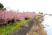 2011 河津櫻:IMG_9501.jpg