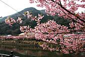 2011 河津櫻:IMG_9569.jpg