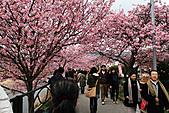 2011 河津櫻:IMG_9629.jpg