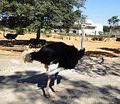 2010 六福村:鴕鳥