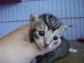 奶貓六隻:1 (7).JPG