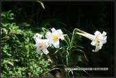 福爾摩莎:苗栗縣三義鄉野百合秘密花園 (39).jpg
