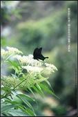 福爾摩莎:苗栗縣三義鄉野百合秘密花園 (45).jpg
