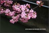 福爾摩莎:新竹市~東南街239巷汀甫圳賞櫻 (41).jpg