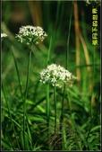 福爾摩莎:2013年大溪韭菜花_14.jpg