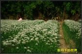 福爾摩莎:2013年大溪韭菜花_10.jpg
