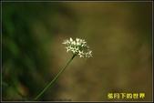 福爾摩莎:2013年大溪韭菜花_12.jpg
