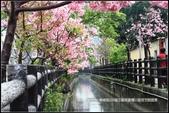 福爾摩莎:新竹市~東南街239巷汀甫圳賞櫻 (37).jpg