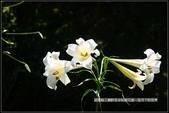 福爾摩莎:苗栗縣三義鄉野百合秘密花園 (40).jpg