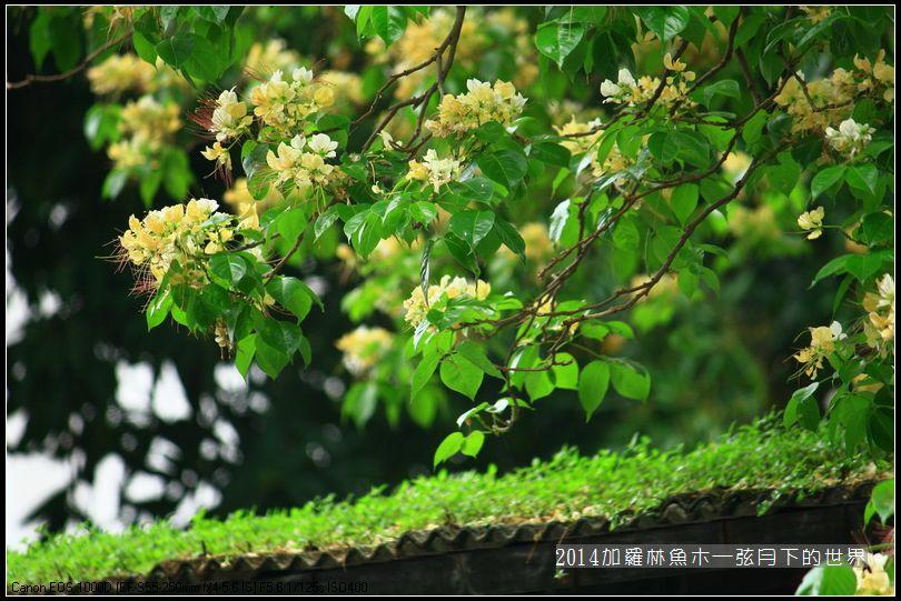 花顏草影:2014年加羅林魚木_34.jpg