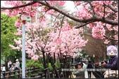 福爾摩莎:新竹市~東南街239巷汀甫圳賞櫻 (24).jpg