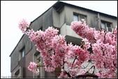 福爾摩莎:新竹市~東南街239巷汀甫圳賞櫻 (28).jpg