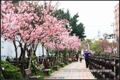 福爾摩莎:新竹市~東南街239巷汀甫圳賞櫻 (8).jpg