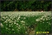 福爾摩莎:2013年大溪韭菜花_09.jpg