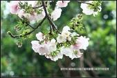 福爾摩莎:新竹市~東南街239巷汀甫圳賞櫻 (2).jpg