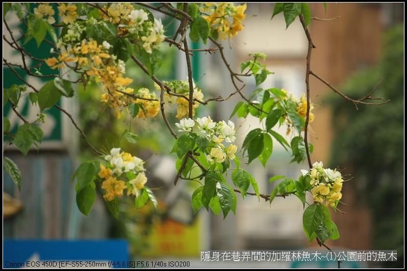 花顏草影:隱身在巷弄間的加羅林魚木~(1)公園前的魚木_18.jpg