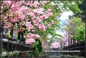 福爾摩莎:新竹市~東南街239巷汀甫圳賞櫻 (40).jpg