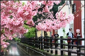 福爾摩莎:新竹市~東南街239巷汀甫圳賞櫻 (36).jpg
