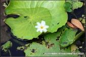 福爾摩莎:龍岡士校大池賞台灣欒樹 (14).jpg