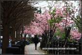 福爾摩莎:新竹市~東南街239巷汀甫圳賞櫻 (50).jpg