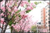 福爾摩莎:新竹市~東南街239巷汀甫圳賞櫻 (20).jpg