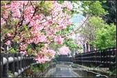 福爾摩莎:新竹市~東南街239巷汀甫圳賞櫻 (1).jpg