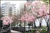 福爾摩莎:新竹市~東南街239巷汀甫圳賞櫻 (26).jpg