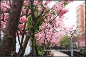 福爾摩莎:新竹市~東南街239巷汀甫圳賞櫻 (22).jpg