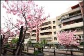 福爾摩莎:新竹市~東南街239巷汀甫圳賞櫻 (11).jpg
