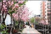 福爾摩莎:新竹市~東南街239巷汀甫圳賞櫻 (17).jpg