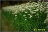 福爾摩莎:2013年大溪韭菜花_13.jpg