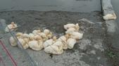 宜蘭綠博 107.4.7/14:可愛的小鴨
