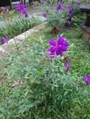 南投2天1夜 106.10.28~29:6.南投好多這種紫色的花.jpg