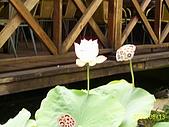 夢松園:池塘荷花